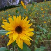 Auringonkukkapelto, yksi kukka tarkkana etualalla, muut sumeampina taaempana.