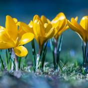 Das Bild zeigt gelbe Krokusse in voller Blüte.